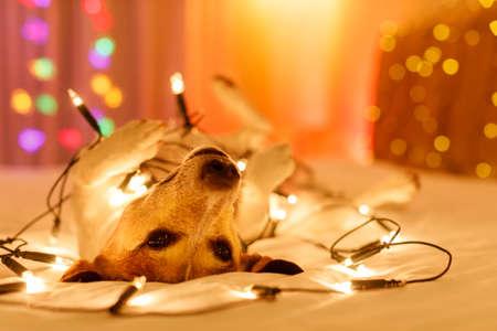 Jack Russell Hund ruhen und genießen diese Weihnachtsferien mit ausgefallenen Lichterketten und suchen Sie süß (Low-Light-Foto) Standard-Bild