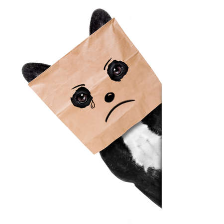 Sad crying french bulldog , hiding behind a paper bag on his head, isolated on white background
