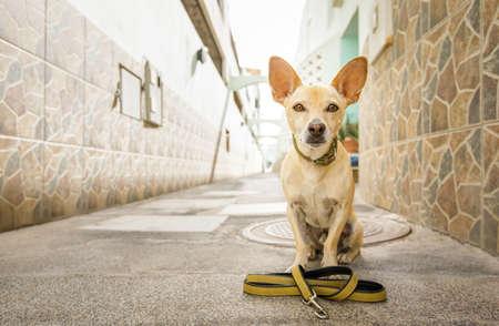 perro chihuahua esperando a que el dueño juegue y salga a caminar con correa al aire libre Foto de archivo
