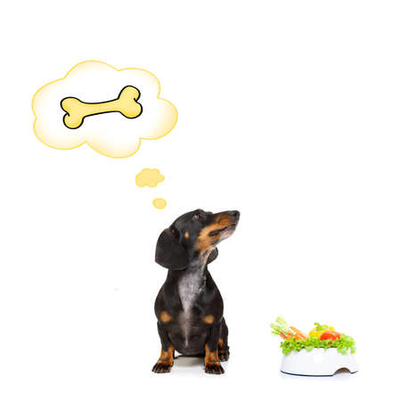 Dachshund or sausage dog waiting for owner with healthy vegan food bowl, isolated on white background,