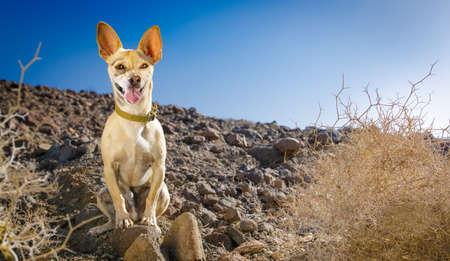 perro chihuahua mirando y mirando al propietario listo para salir a caminar al aire libre y en el exterior en la montaña del desierto Foto de archivo