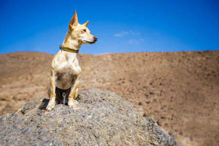 chihuahua dog watching and looking at the mountain outside , on summer vacation holidays