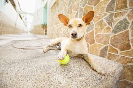 perro chihuahua esperando que el dueño juegue con la pelota de juguete y salga a caminar con la correa al aire libre