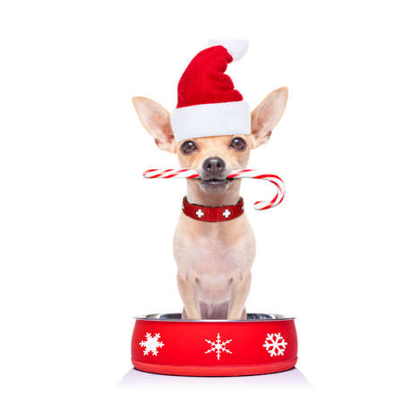 hungry xmas santa claus  chihuahua dog inside empty  bowl, isolated on white background ,  begging for food with red christmas hat Stock Photo