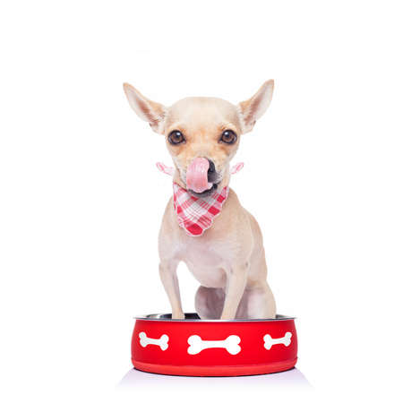 hungry  chihuahua dog inside empty  bowl, isolated white background ,  begging for food, licking tongue Stock Photo
