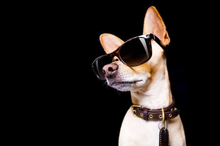 cool trendy posing chihuahua dog  with sunglasses looking up like a model , isolated on black background