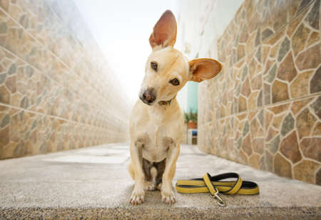 curious chihuahua dog waiting for owner to play  and go for a walk with leash outdoors