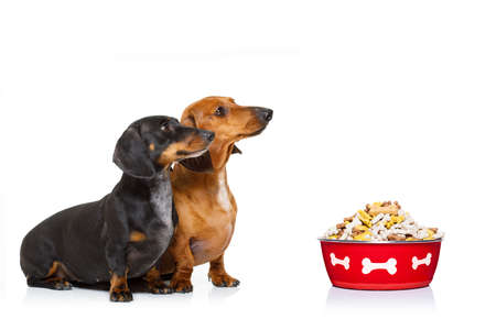 dachshund or sausage dogs waiting for owner with healthy   food bowl, isolated on white background,