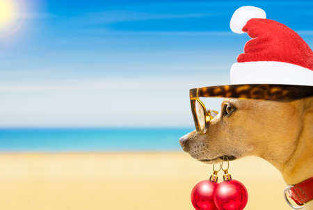 chihuahua dog with santa claus hat at the beach and ocean wearing funny sunglasses and red hat  on summer christmas vacation holidays Stock Photo