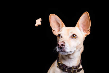 chihuahua  dog trying to catch a treat or cookie  in the air , with funny face expression, isolated on black background
