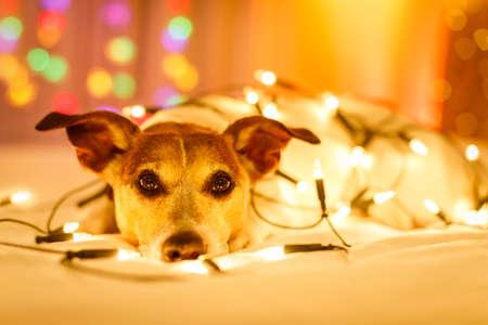 jack russell chien se reposant et appréciant ce vacances de Noël avec des lumières féeriques de fantaisie et semblant mignon à vous (photo de basse lumière)