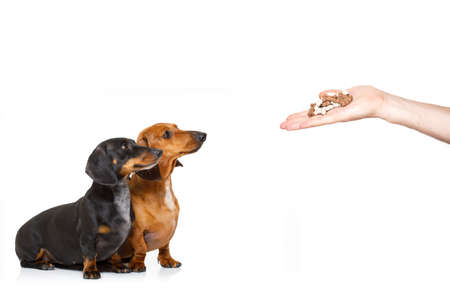 couple of hungry dachshund sausage dogs , for a treat  by his owner , isolated on white background for a meal or food
