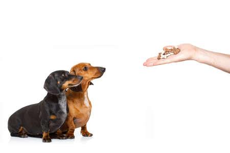 Paar hongerige teckel worst honden, voor een traktatie door zijn eigenaar, geïsoleerd op een witte achtergrond voor een maaltijd of voedsel Stockfoto - 90711391