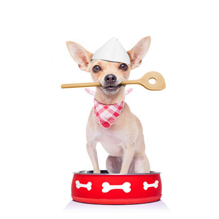 hungry  chihuahua dog inside empty  bowl, isolated white background ,  begging for food, with wooden spoon in mouth, and chef hat as a cook