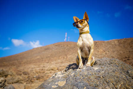 chihuahua dog watching and looking at the mountain outside , on summer vacation holidays wearing funny sunglasses