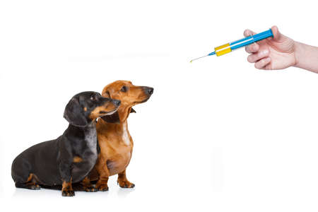 sick and ill dachshund sausage dogs  isolated on white background with ice pack or bag on the head, with thermometer and syringe vaccine