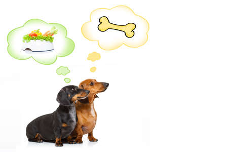 couple of dachshund or sausage dogs waiting for owner with healthy  vegan food bowl, isolated on white background,