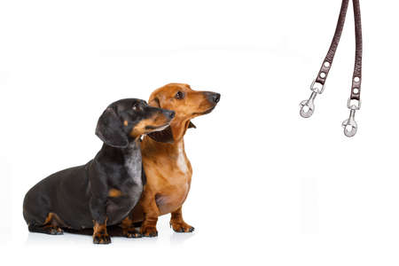 couple of dachshund or sausage  dogs waiting for owner to play  and go for a walk with leash, isolated on white background Stock Photo