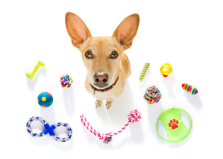 curious podenco dog looking up to owner waiting or sitting patient to play or go for a walk,  isolated on white background, with a lot of pet toys