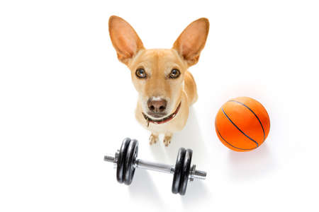 basketball podenco dog playing with  ball  , isolated on white background, wide angle fisheye view