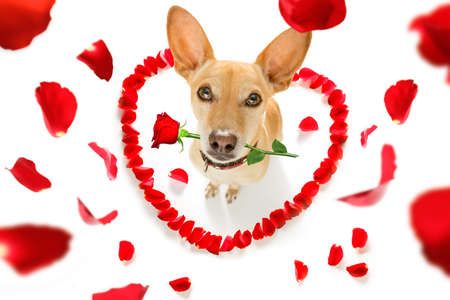 chihuahua podenco dog in love for happy valentines day with petals and rose flower in mouth  , looking up in wide angle