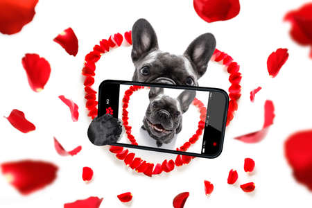 french bulldog  dog in love for happy valentines day with petals and rose flower , looking up in wide angle, taking selfie with smartphone Stock Photo