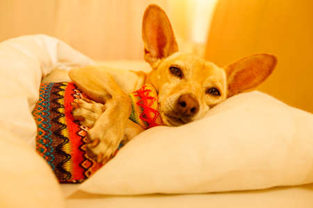 sick and ill chihuahua  dog resting  having  a siesta or sleeping  with hot water bottle Stockfoto