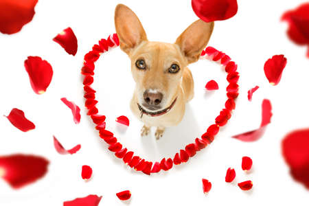 chihuahua podenco dog in love for happy valentines day with petals and rose flower , looking up in wide angle