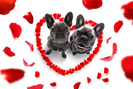 Paare der französischen Bulldogge Hunde in der Liebe für glückliche Valentinsgrußtag mit Blumenblättern und rosafarbener Blume , schauen in Weitwinkel