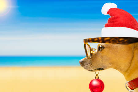 chihuahua dog with santa claus dog at the beach and ocean wearing funny sunglasses and red hat  on summer christmas vacation holidays