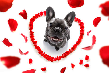 french bulldog  dog in love for happy valentines day with petals and rose flower , looking up in wide angle Stockfoto