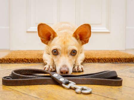 perro chihuahua de poidenco esperando que el dueño juegue y pasee en felpudo con correa en el piso, detrás de la entrada de la puerta de casa Foto de archivo
