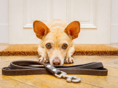 poidenco chihuahua dog waiting for owner to play  and go for a walk on doormat with leash on the floor ,behind home door entrance