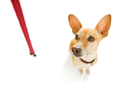 chihuahua podenco dog waiting for owner to play  and go for a walk with leash outdoors