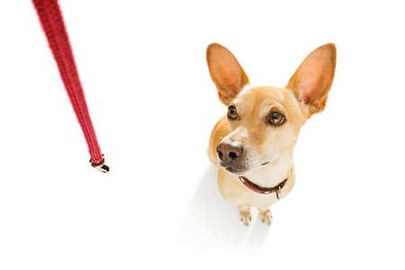 perro chihuahua podenco esperando a dueño para jugar y salir a caminar con correa al aire libre