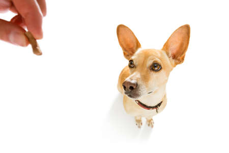 curious podenco dog looking up to owner  for a cookie treat , waiting or sitting patient to play or go for a walk , isolated on white background