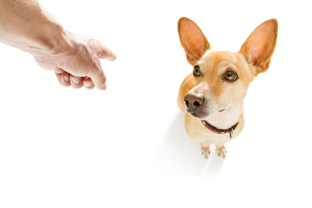 chihuahua being punished by owner for very bad behavior , with finger pointing at dog
