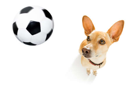 soccer podenco dog playing with leather ball  , isolated on white background, wide angle fisheye view