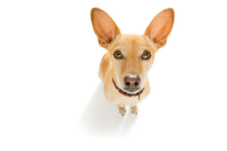 curious podenco dog looking up to owner waiting or sitting patient to play or go for a walk,  isolated on white background