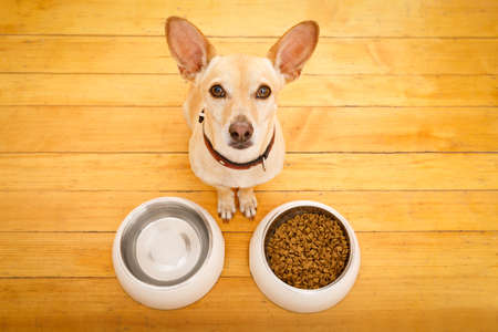 hungry  chihuahua podenco dog behind food bowl and water bowl, isolated wood background at home and kitchen