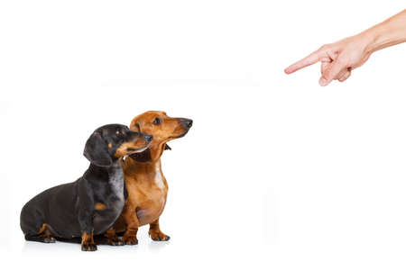 couple of dachshund or sausage dogs being punished by owner for very bad behavior , with finger pointing at them