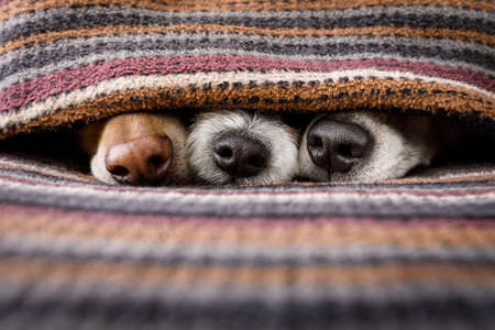 couple of dogs in love sleeping together under the blanket in bed , warm and cozy and cuddly Stock Photo