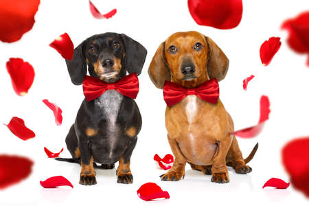 couple of dachshund sausage dogs in love for happy valentines day with rose flower in mouth
