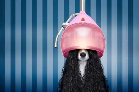 jack russell hond bij de kappers met lang krullend haar pruik, in schoonheidssalon