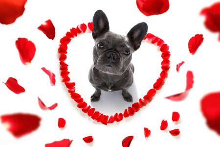 french bulldog  dog in love for happy valentines day with petals and rose flower , looking up in wide angle Stock Photo