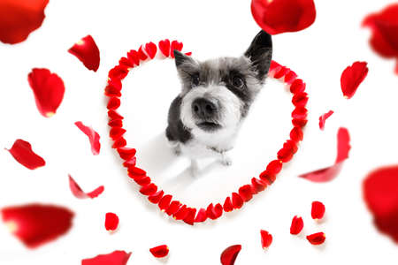 Poodle dog in love for happy valentines day with petals and rose flower, looking up in wide angle