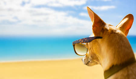 chihuahua dog watching and looking at the beach and ocean wearing funny sunglasses, on summer vacation holiday