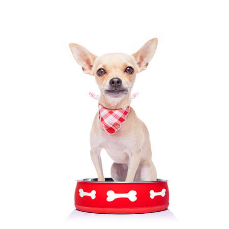 hungry  chihuahua dog inside empty  bowl, isolated white background ,  begging for food