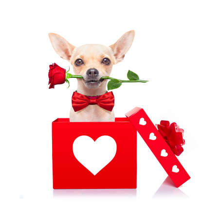 chihuahua dog in love for happy valentines day with petals and rose flower in  mouth , isaolated on white background