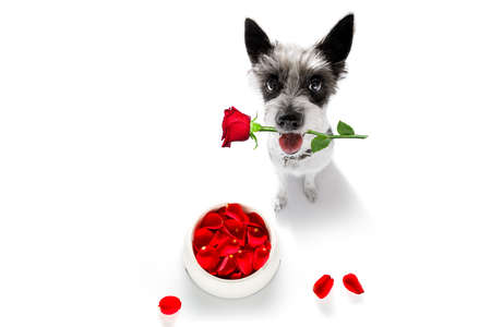 Curious poodle hungry dog in love for happy valentines day with flower rose petals and food bowl, looking up with rose in mouth Reklamní fotografie